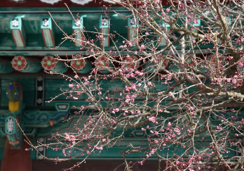 通度寺境内提早开的红梅花